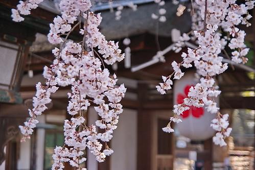 【写真】2013 桜 : 平野神社/2021-01-09/IMGP8711