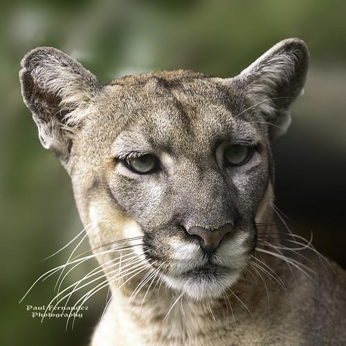 tampa zoo florida puma panther cougar mountainlion catamount lowryparkzoo lionmountain tampazoo floridapanther lowrypark tampalowryparkzoo pantherflorida