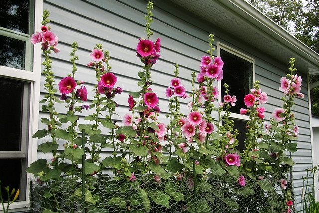 Hollyhocks VII