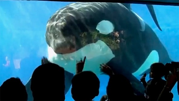 A killer whale is revealed to be neglected and abused in captivity in BLACKFISH.
