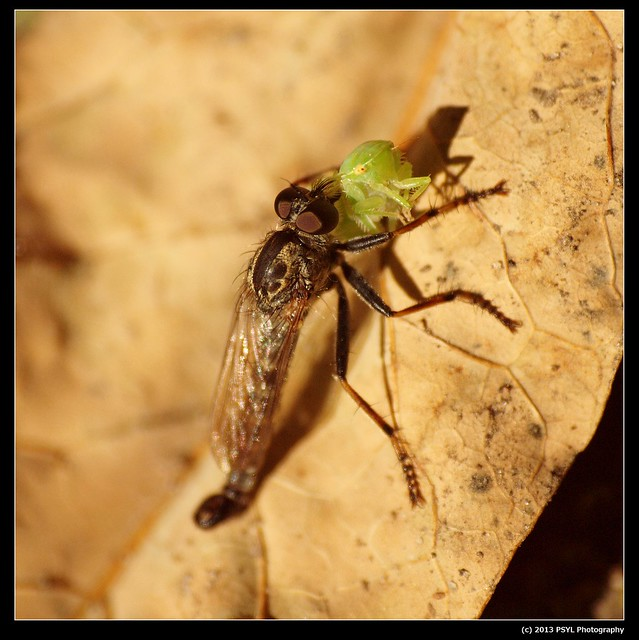 Robber fly with Leafhopper prey