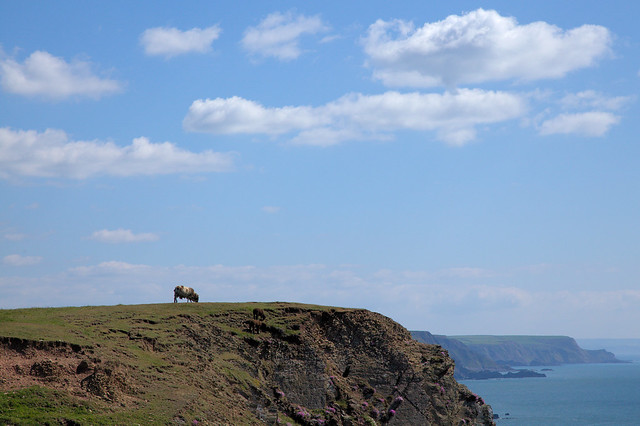 Cliffedge Sheep 2