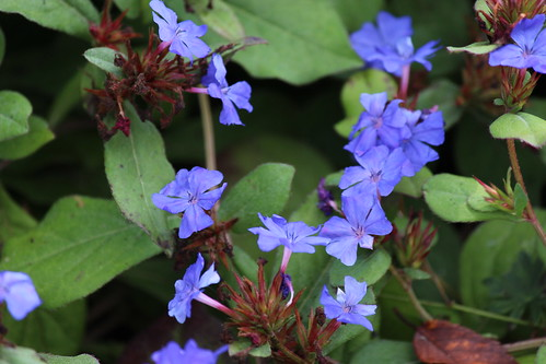 IMG_1566_Blue_Groundcover_Flowers_At_Leila_Arboretum
