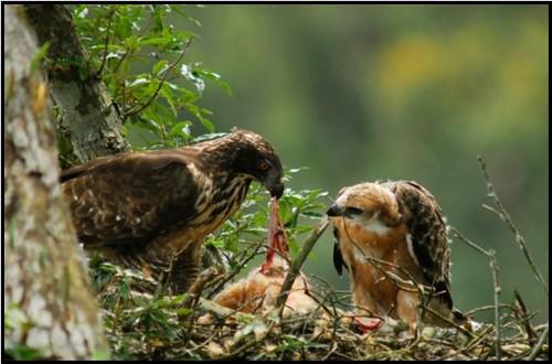 熊鷹雌鳥正將鼬獾開腸破肚,餵食幼鳥。(圖片攝影:黃永坤)