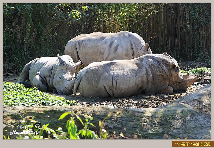 木柵動物園(圓仔)43