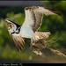 Ft Myers Osprey
