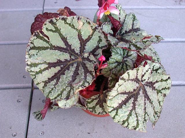 Begonia 'Fedor'