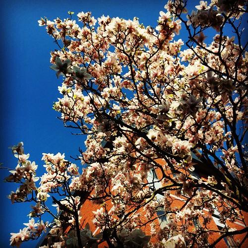 Onder de magnoliaboom. #lentehappy #opdefiets