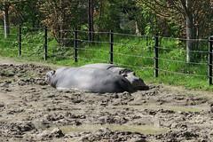 Hippos sleeping (5)