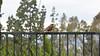 A rare visitor - a Robin Red Breast