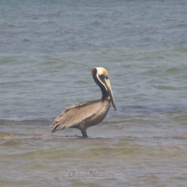 pelican 0001 Key Biscayne, Miami, Florida, USA