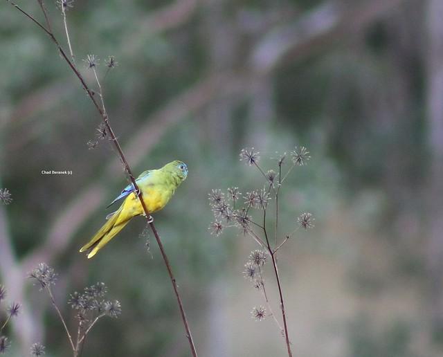 Turquoise Parrot (Neophema pulchella)