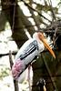 Painted stork..
