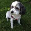 Daisy's new haircut. #puppylove #havachon #cutepups