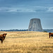 cows and devils tower by jody9