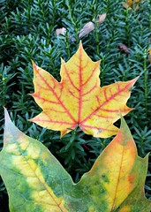 Maples leaves come in many shades and sizes
