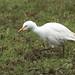 Cattle Egret - Bibulous ibis - Kúhegri by *Jonina*