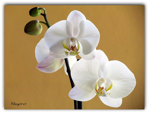 Jueves de Orquideas (Thursday Orchids)