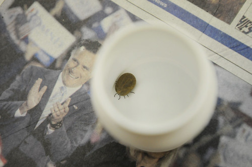 Romney tick
