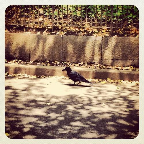 Tokyo está plagada de cuervos que campan a sus anchas.