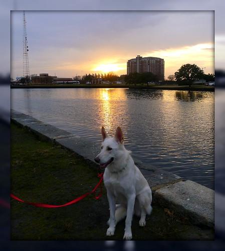 astor whitegermanshepherd vitschäfer explore mla majlis andersen sunset solnedgång
