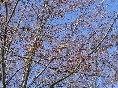 筑波大学北エリアの桜
