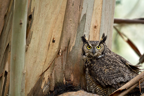 Great Horned Owl on nest