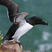 Razorbill taking off, Fowlsheugh, Aberdeenshire