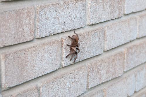 Tarantula  April 2 2012 a_7398 by 2HPix.com - Henry Huey