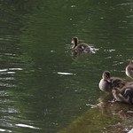 Ducklings at Tunstall Park May 2012