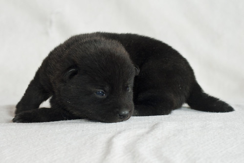 Haru-Third-Litter-Pup3-Female-Day15c