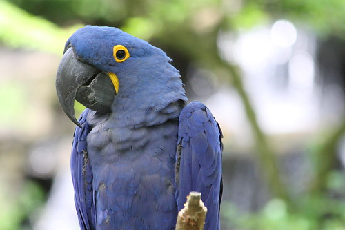 Blue Hyacinth Macaw - Nashville Zoo