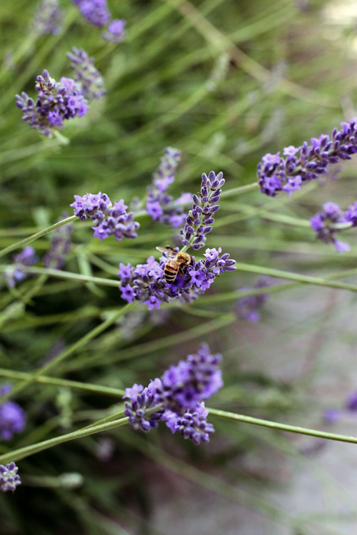 Lavander Honey To Be....