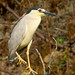 BLACK-CROWNED NIGHT HERON by sea25bill