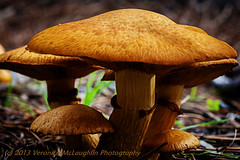 Common Brown mushroom