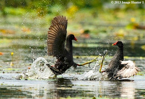 Common Moorhen Fight - Miller's Lake, Louisiana