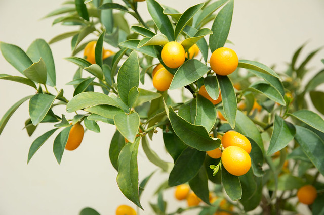kumquats tree
