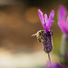 Honey Bees on Lavender-1.jpg