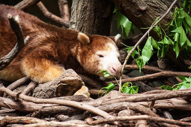 Tree kangaroo, Bronx Zoo