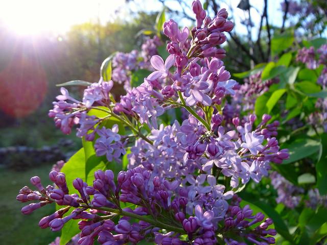 lilac sunset