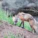 vixen discovering badger in den