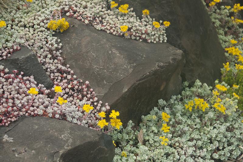 Blooming Sedums