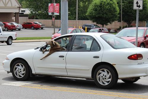 IMG_0015_Dog_Driving_Car_in_Kokomo