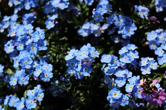 annual plant, flower, plant, lilac, wildflower, flora, forget-me-not, blue,