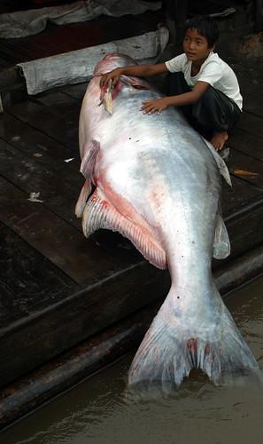 柬埔寨洞裡薩河平台上的湄公河巨鯰。每年在洞裡薩河可捕獲數隻湄公河巨鯰,通常是在10-11月洪水消退洞裡薩湖淨空時,巨鯰會從湖中游往湄公河主流域。