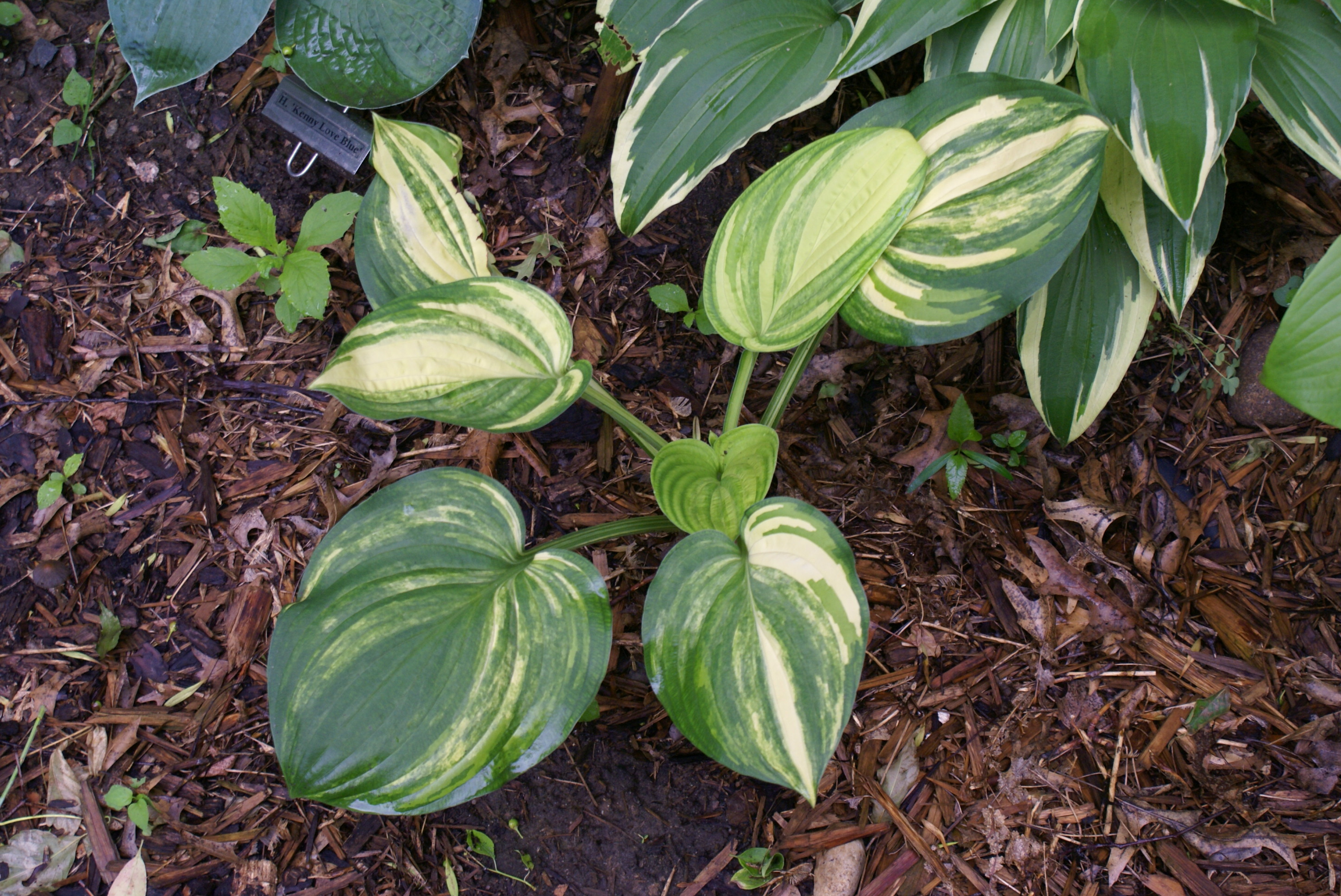 Hosta 'William Lachman' (11)-001