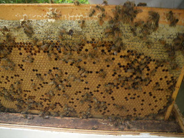 still loads of brood on this frame