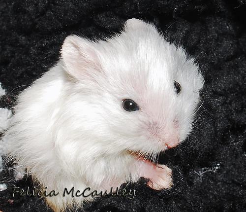 Philadelphia Hamster  Philadelphia Ha...