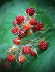 tayberry(0.0), shrub(0.0), strawberries(0.0), flower(0.0), plant(0.0), crataegus pinnatifida(0.0), produce(0.0), food(0.0), rowan(0.0), zante currant(0.0), blackberry(1.0), evergreen(1.0), berry(1.0), red(1.0), wine raspberry(1.0), frutti di bosco(1.0), loganberry(1.0), fruit(1.0), raspberry(1.0), boysenberry(1.0),