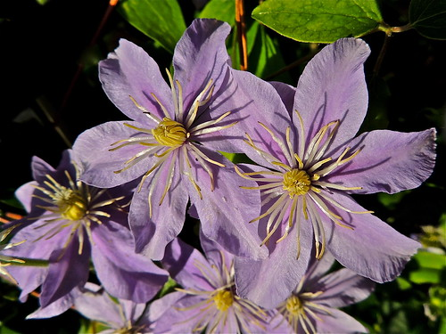 Clematis in Evening Light by Irene's Daily Pics